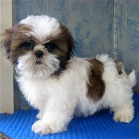 raising shih tzu puppies pets cullman al free classified ads