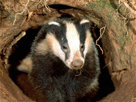 burrowing badgers  put homes  risk  collapse uk news expresscouk