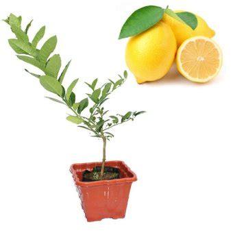 Jeruk Lemon Tanpa Biji 40 60cm belibibit jeruk lemon import lazada indonesia