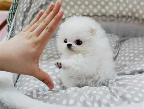pomeranian husky teacup 17 best ideas about pomeranian husky grown on pomsky puppies pomsky