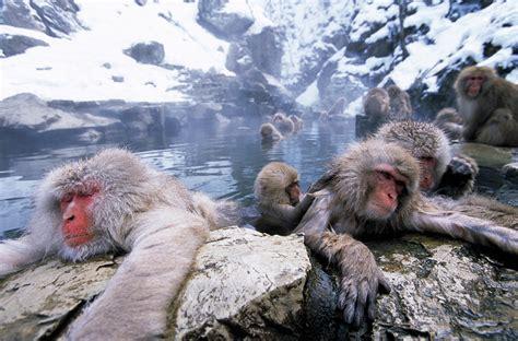 Japanese Macaque   Lynx Edicions