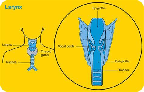 larynx diagram neck cancers cancer council