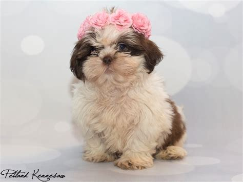how much are puppies at petland shih tzu puppies for sale what happens when you a shih tzu for a pet
