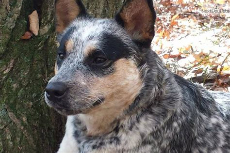 australian cattle for sale blue and boys australian cattle blue heeler puppy for sale near scranton