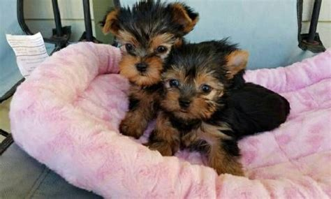 teacup yorkies for sale in az two healthy and teacup yorkie puppies arizona pets for sale