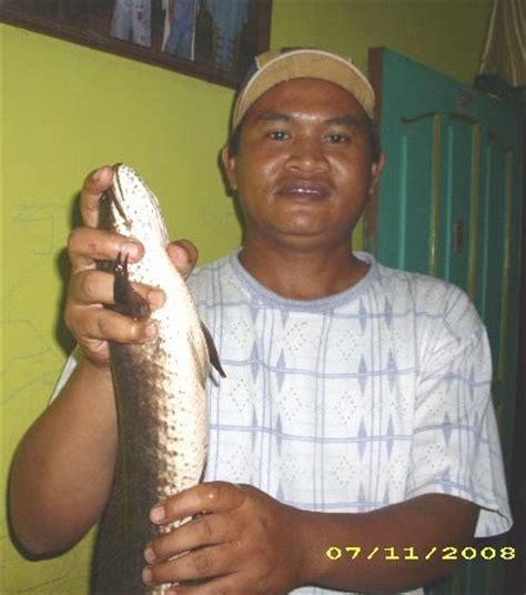 Pancing Gabus pengael cara mancing ikan gabus