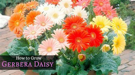gerbera daisy guide   gerbera daisy resources