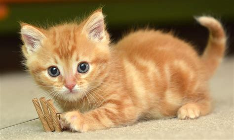 hd cat wallpapers kitten images cute cat  claw