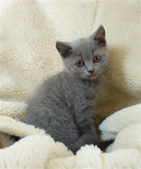 britse korthaar kittens voor katten dieren britse korthaar kittens zeer mooi type