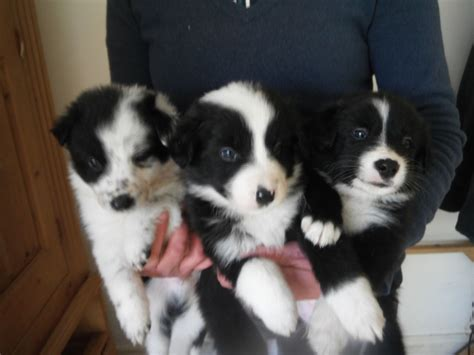 border collie puppies for sale gorgeous border collie puppies for sale newbury