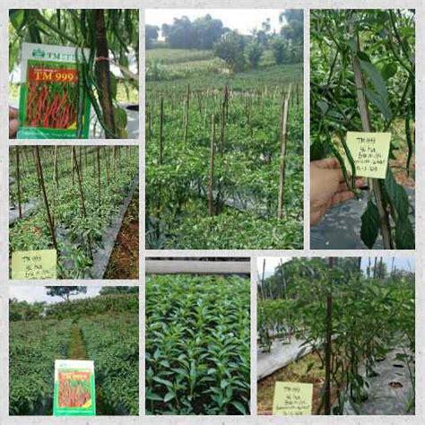 Bibit Cabe Tm 999 Hasil Trial Bibit Sayuran Jual Bibit Sayuran Merdeka Tani