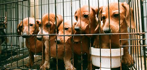 puppy mill pictures why you should never buy a puppy aspca