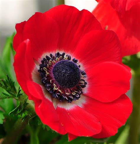 anemone flower meaning beautiful flowers anemone flowers pictures meanings