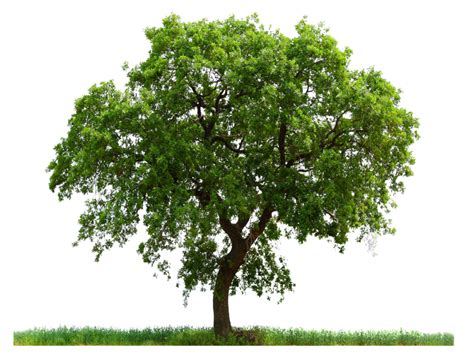 tree image free tree png images pictures free