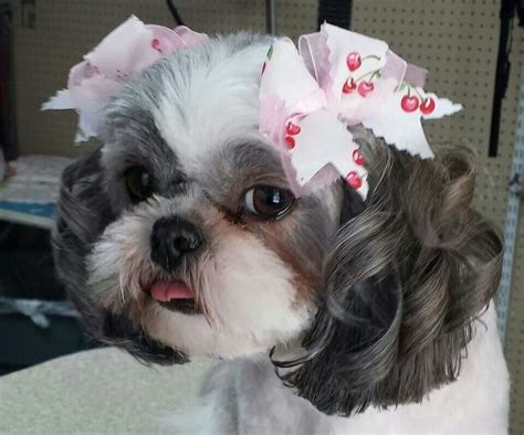 shih tzu bows the tong the curls and the bows a really sweet tzu shih tzus