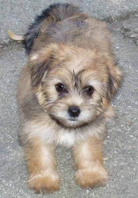 maltese and a yorkie mix the yorkie maltese mix how could you not a puppy
