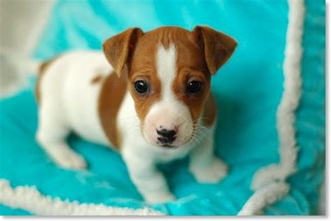 jrt puppies puppy i like animals terrier puppies o connell