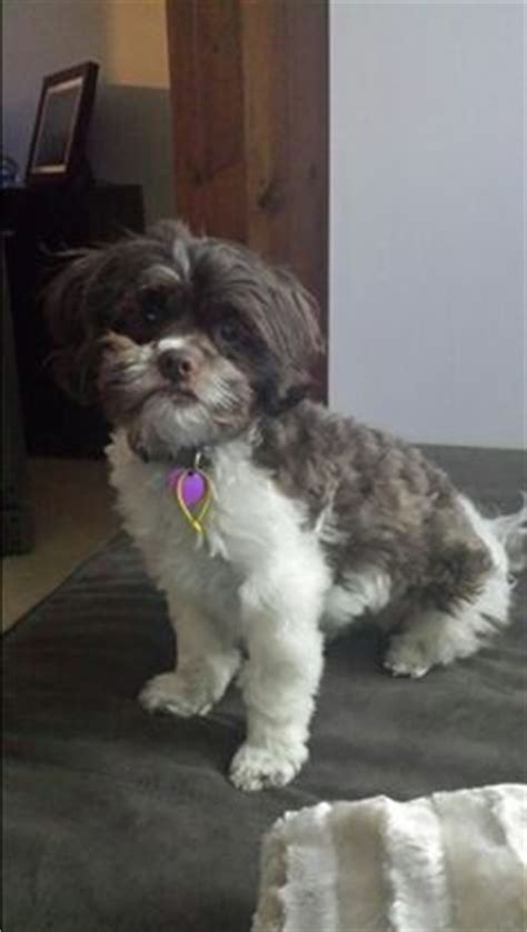 shih poo hair cuts 1000 images about toby haircut ideas on pinterest