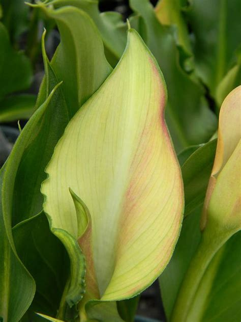 17 best images about zantedeschia on pinterest flower plants and santiago
