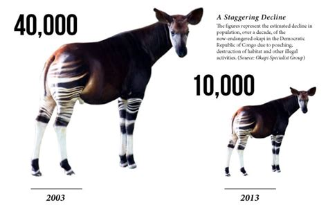Home Design In Jacksonville Fl okapi endangered graphic okapi conservation project