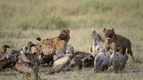 Vultures and Hyenas Prey   Wallpaper #41282