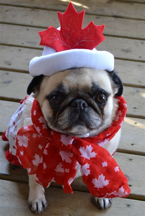 pug day pug photos of pugs images canada day pug wallpaper and background photos 37258835