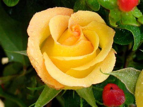 bellas flores amarillas y rojas mandarsaludoscom rosa amarilla hd flores pinterest
