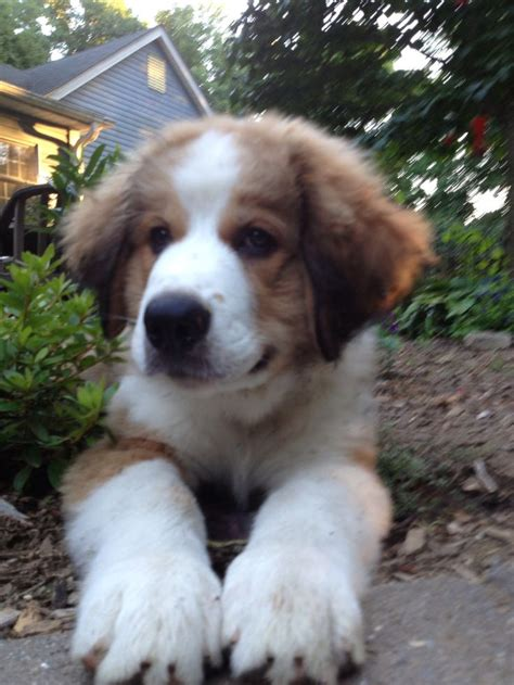great pyrenees bernese mountain mix half great pyrenees half bernese mountain great bernese most awesome