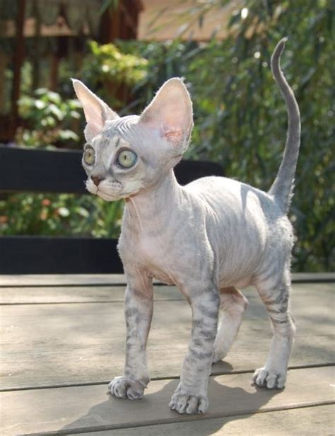 Devon rex, Devon and Blue on Pinterest