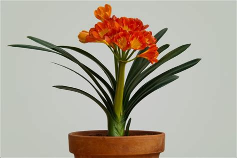 Flowering House Plants For Windows Blooming Plants Orange Flower Form Honorable Mention