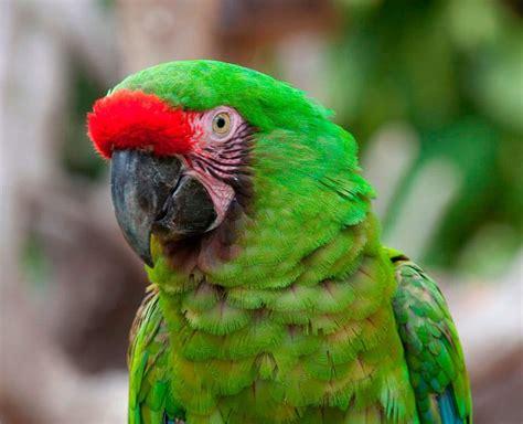 imagenes guacamayas verdes guacamaya verde caracter 237 sticas alimentaci 243 n h 225 bitat