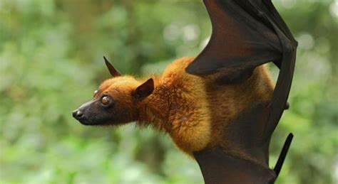 pipistrello volpe volante australia l invasione dei pipistrelli un intera