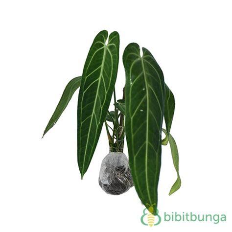 Tanaman Hias Calathea Silver Plate tanaman lidah gajah bibitbunga