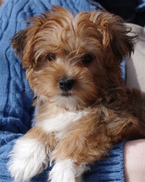 silky poo puppies silky poo silky terrier x poodle info puppies pictures