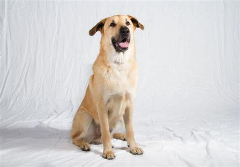 chinook puppies for sale chinook puppies for sale akc puppyfinder