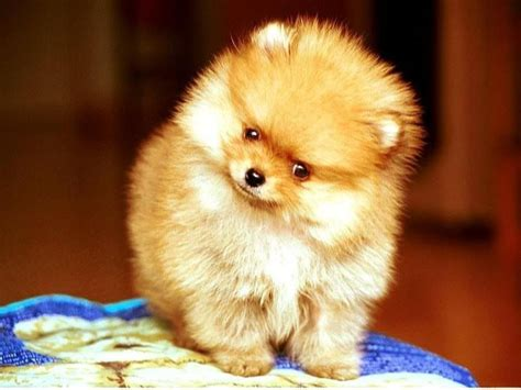 pomeranian puppies shoal creek puppies welcome to your puppy destination