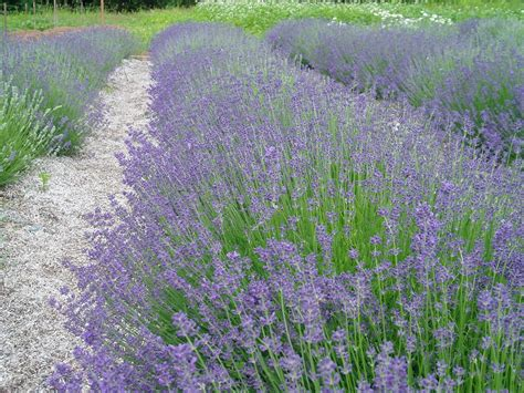 lovegrass farm lavender plants are ready for sale today