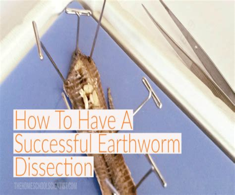 earthworm dissection school how to a successful earthworm dissection the