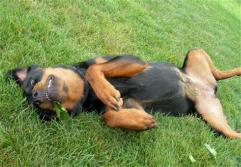 world s rottweiler rottweiler is a large breed originating in germany as herding dogs breeds