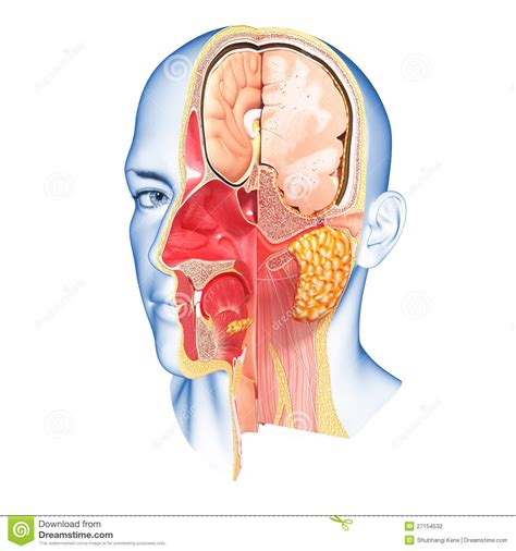 human head cross section anatomy of face cross section stock illustration