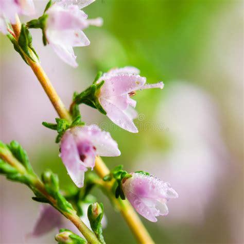 erica fiori gocce di rugiada sui fiori dell erica fotografia stock