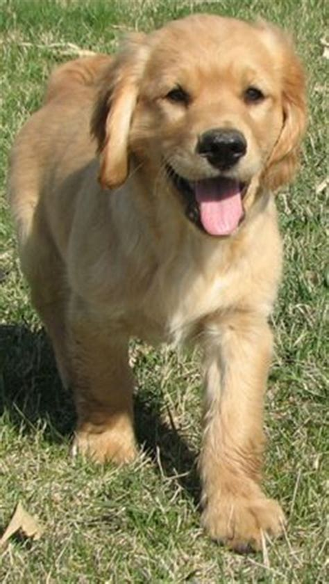 golden retriever cocker spaniel mix for sale dakota sport retriever great with children and other animals loving average