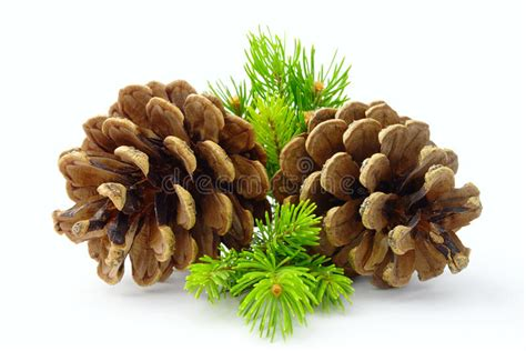 brown pine cone and green line stock image image of tree decoration 21816733