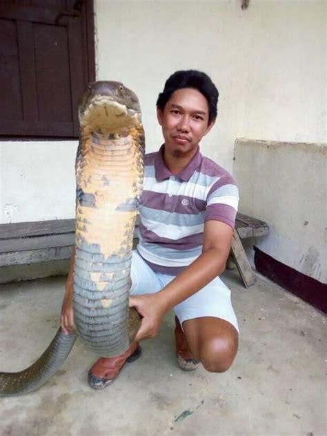 film ular cobra india berani pria ini jinakkan king kobra raksasa bikin heboh
