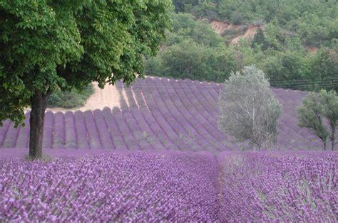 Lavendel Steckbrief by Lavandula Angustifolia Lavendelfeld Zoom Die
