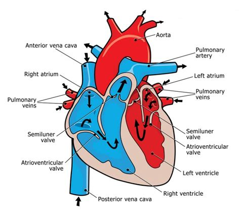 photo heart layout heart flow diagrams to print diagram site