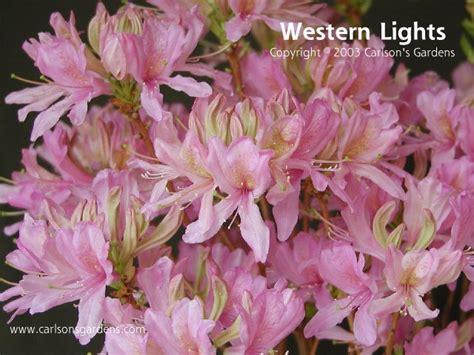 western lights plants for sale deciduous azalea
