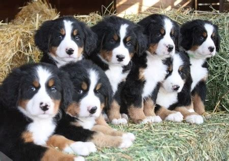 bernese mountain puppies california bernese mountain rescue uk pet photos gallery ve82vvo2je