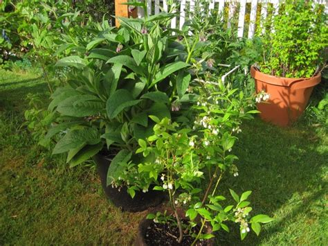 container gardening raspberries container gardening