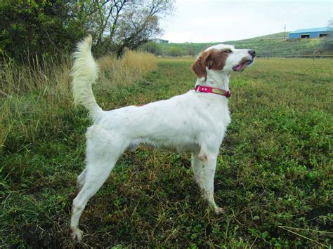 American Setter Dog | english setter awards by dorothy hyder american field